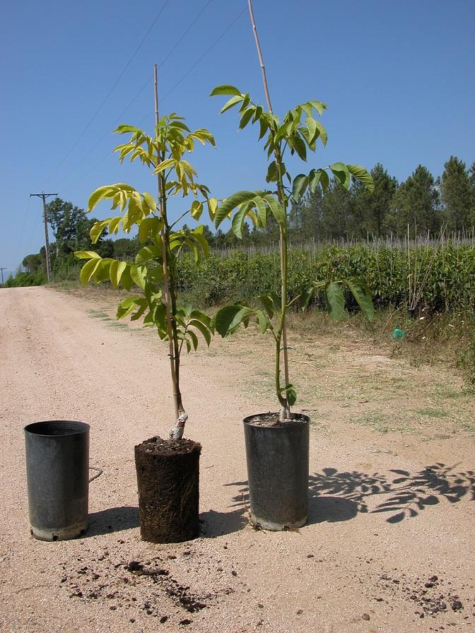 Planta en ciontenedor de 8 litros para plantación en verano