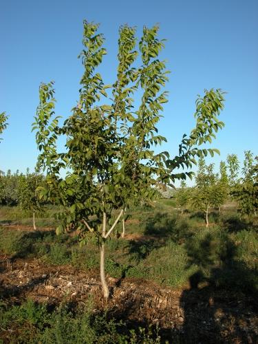 Plantación de Chandler de 2 años en plantación de Portugal