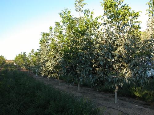 Plantació de Chandler de 3 anys a Portugal