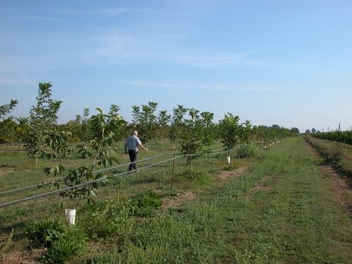 Plantació de Chandler en contenidor a Lleida