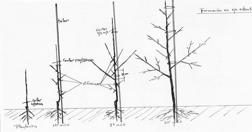 sistema de formación en eje estructurado en el nogal