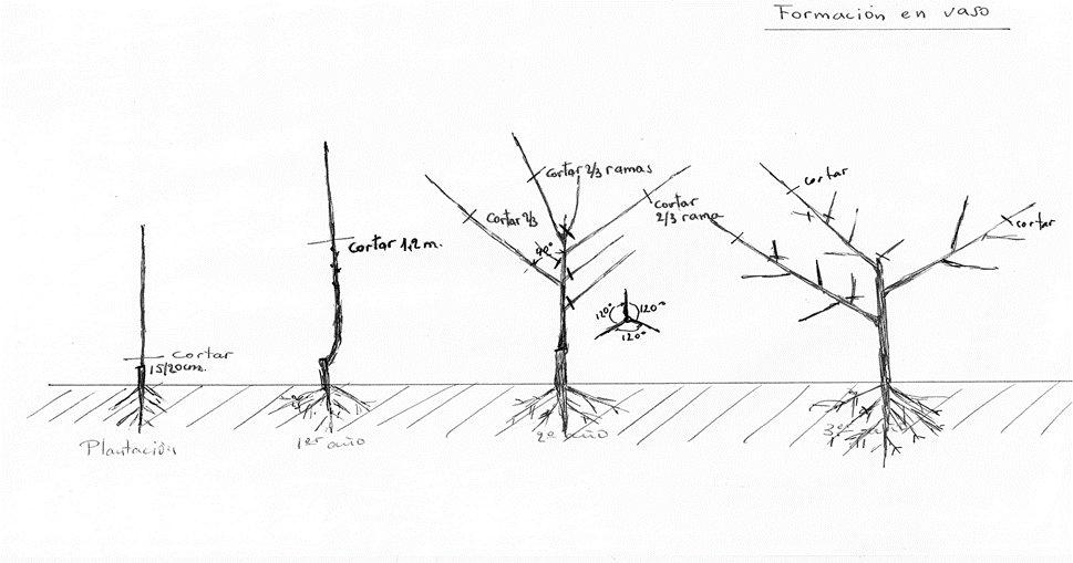 sistema de formación en vaso en el nogal
